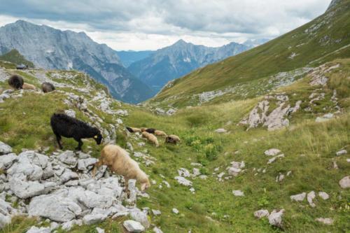 Ovce na útěku